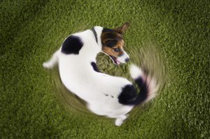 why-dogs-chase-tails.jpg
